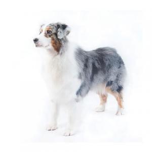 Austrālijas aitu suns